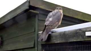 Sparrowhawk attack on my Goldfinch.