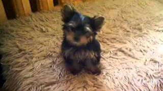 Yorkshire Terrier Toy.mp4