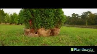Timanttituija | Kanadantuija Aita 150cm | Plantinavia