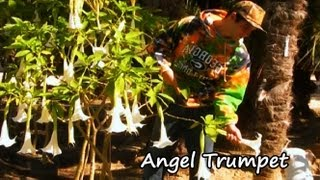 **Angel Trumpet Tree** ++Aromatic Giant Trumpet White Flowering Shrub++