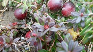 Какие ягоды до морозов в моем саду?