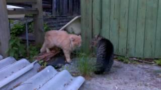 Рыжий против Пушка - Коты орут на даче