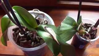 Почему остановился рост листика и корней у орхидеи, которая потеряла корни ?