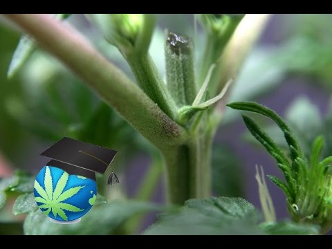 Sexing Cannabis Plants: Male or Female?