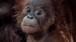 Zoo Finally Names Baby Orangutan After Discovering She's a Girl thumbnail