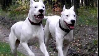 Порода собак. Аргентинский дог.Здоровая и агрессивная овчарка. Доминирующая овчарка