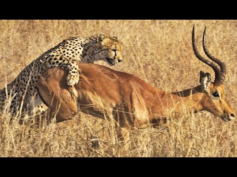 Cheetah Kills Male Impala Right Next To Road