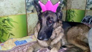 Подружка ЮМИ ЧУ ! Dog Princess