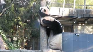 Giant panda Mei Xiang rescues Bei Bei