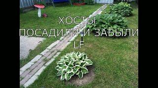 видео Хосты в саду (58 фото): ландшафтные хитрости по составлению композиций на даче, клумбы, сочетание с гейхерами, астильбами
