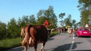 Transhumance vaches à Saint Cergues