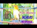 Masteran Pleci Buxtoni Ngalas Nembak Isian Mewah Ampuh Buat Pancingan Toman Net  Mp3 - Mp4 Download
