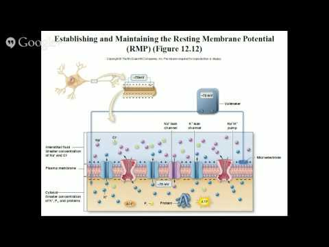 Neuron Physiology: The Action Potential