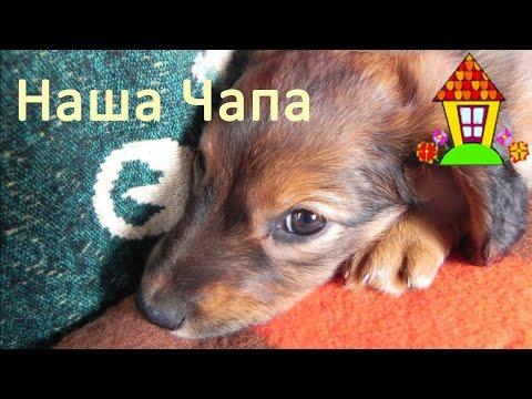Как вылечить собаку от чумы
