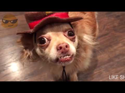 Super FUNNY DOG AND CAT ANIMAL VIDEOS   Watch and DIE FROM LAUGHING 2017