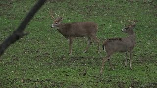Deer Hunting: Two Shooter Bucks In Bow Range - The Management Advantage #63