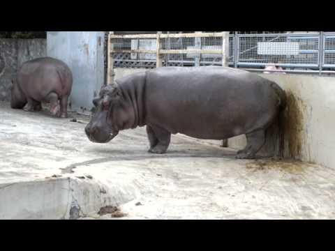 Hippopotamus spreading shit.糞をまき散らすカバ。