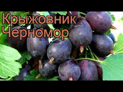 Крыжовник обыкновенная Черномор (chernomor) �� обзор: как сажать, саженцы крыжовника Черномор