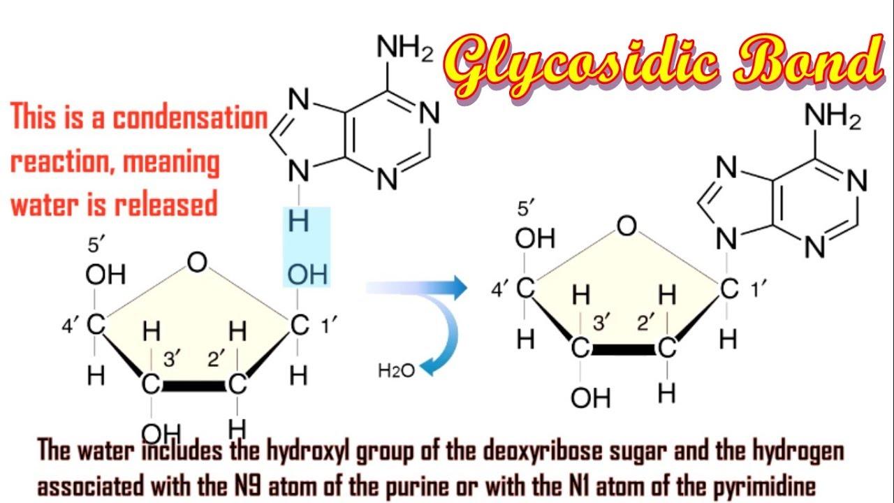 N Glycosidic Bond Musical: Glycosidic Bo...