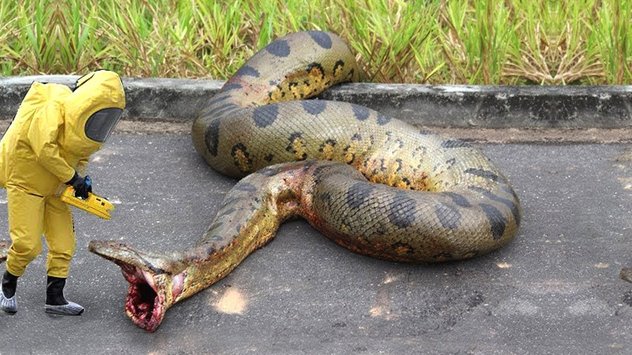 самая большая змея в мире смотреть картинки фото первого состава