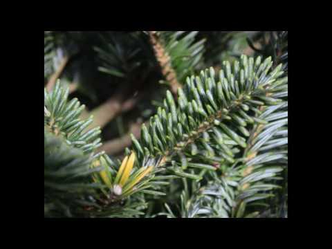 Longest Lasting Christmas Tree