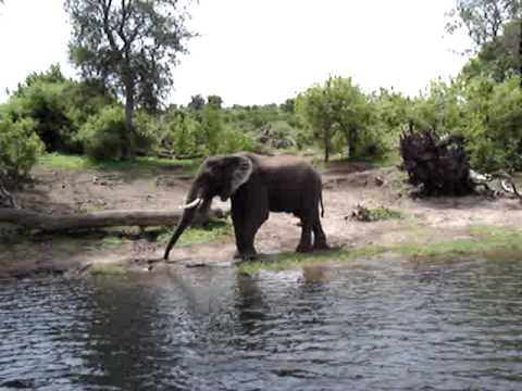 Elephant splashing itself on bank of Chobe River - Botswana