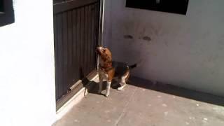 High Jumping Beagle