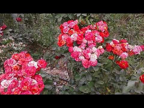 Питомник Роз Полины Козловой, бордюрные розы