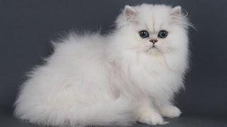 Топ 10 самых мелких и самых крупных пород кошек