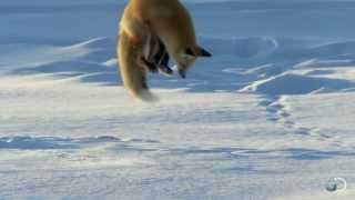 Cách mà cáo bắt chuột dưới tuyết sâu..:)