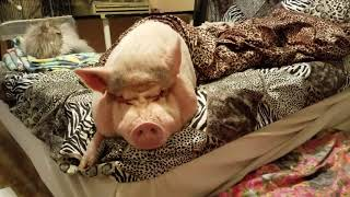 THE DREADED MONDAY MORNING FOR A MINI PIG 💖🐽💖