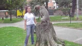 Testimonio Adiestramiento Canino Perro Weimaraner Www.ingeniocanino.com