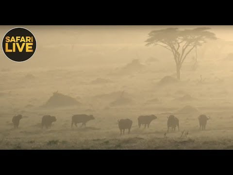 safariLIVE - Sunset Safari - November 14, 2018