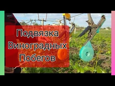 Подвязка виноградных побегов