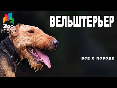 Вельштерьер - Все о породе собаки | Собака породы - Вельштерьер