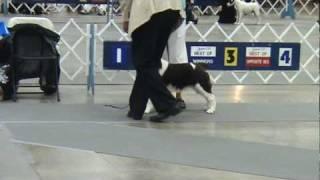 English Springer Spaniel Dog Show 6-13-10  Colorado Springs, Co
