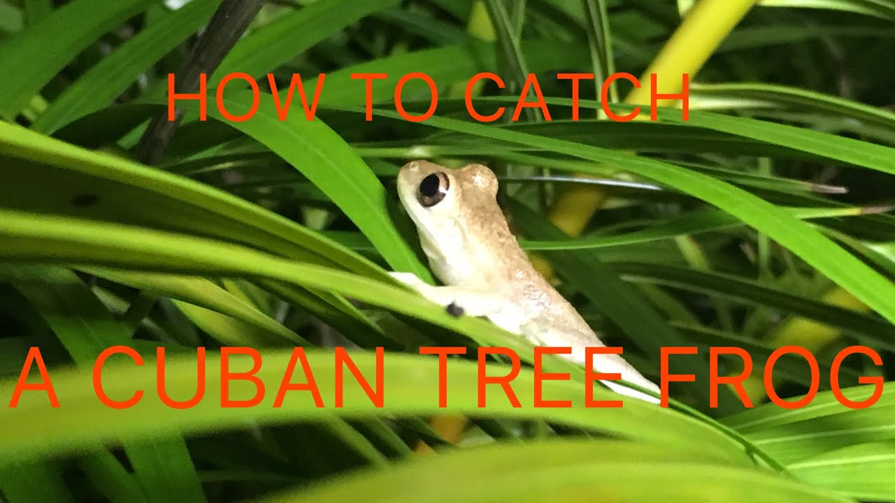 How To Catch A Cuban Tree Frog in your Backyard - YouTube