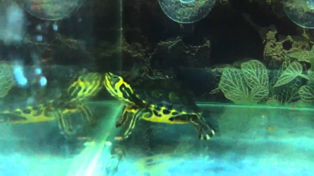terracquario per tartarughe scripta scripta youtube