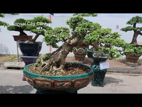 Bonsai Mai Chiếu Thủy khu triển lãm Bonsai cây cảnh