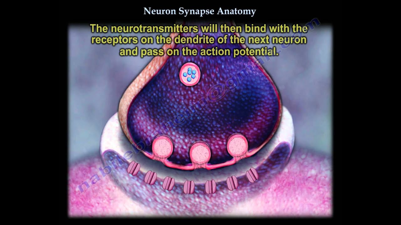 Neuron Synapse Anatomy Everything You Need To Know Dr Nabil