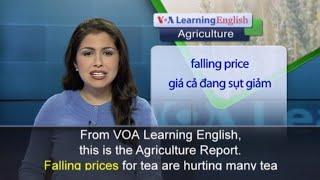 Phát âm chuẩn cùng VOA - Anh ngữ đặc biệt: Kenya Purple Tea (VOA)