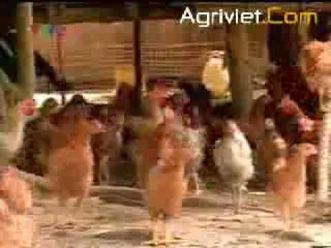 KT nuối gà thả vườn (IV)