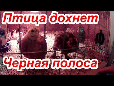 Птица болеет и дохнет, куры чихают и хрипят