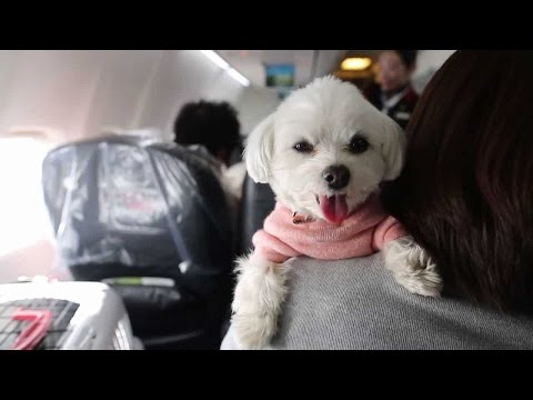 Japan Airlines allows passengers to travel with their dogs