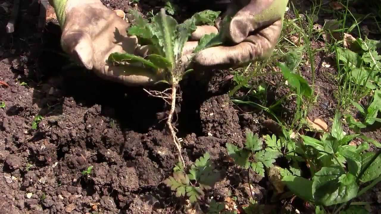 easy weeding how to get rid of weeds in your vegetable garden youtube - Garden Weeds
