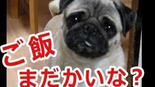 パグ犬おもしろ動画【チャッピー】ご飯欲しいやろ?編~ The Pug I want...