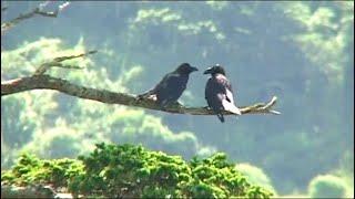 Страна птиц. Шикотанские вороны