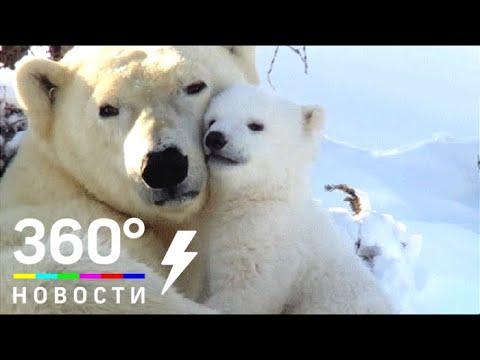 В Берлинском зоопарке белая медведица родила детёныша - МТ