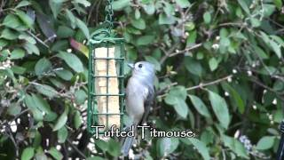 Tufted Titmouse Feeding in HD