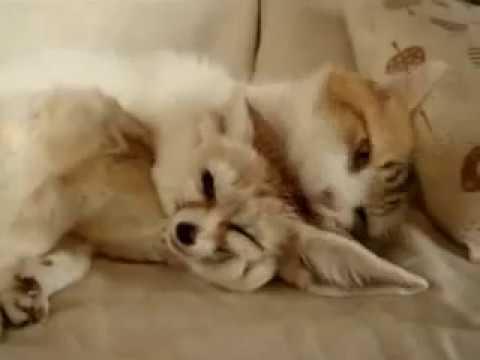 arctic fox (песец) - YouTube